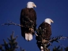 Two bald eagles on our property-400.jpg