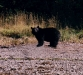 Bear on beach in harbour-600.jpg