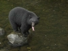 Black bear at fish hatchery-600.jpg