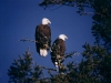 Two Bald Eagles on our property-600.jpg
