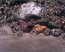 Starfish in a tidepool